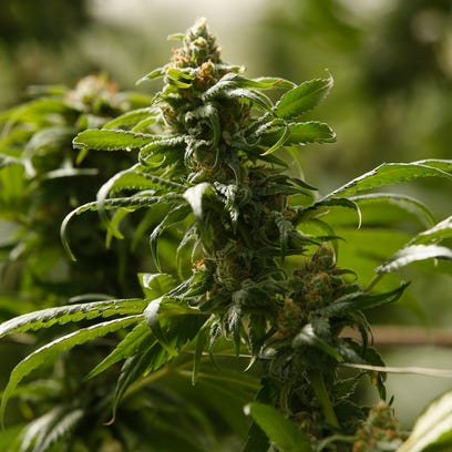 The buds on marijuana plants begin to mature in a legal,