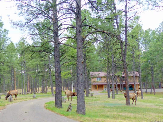 A yard full of elk in Ruidoso is not unusual,but still delights visitors and locals.