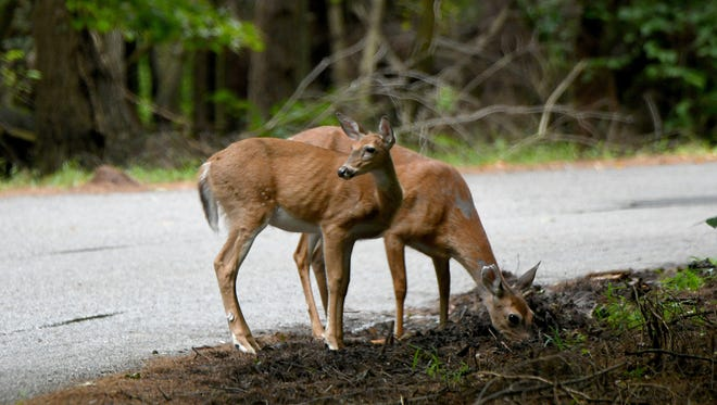 A pair of deer graze along the side of the road at Mohican State Park in this News Journal file photo.