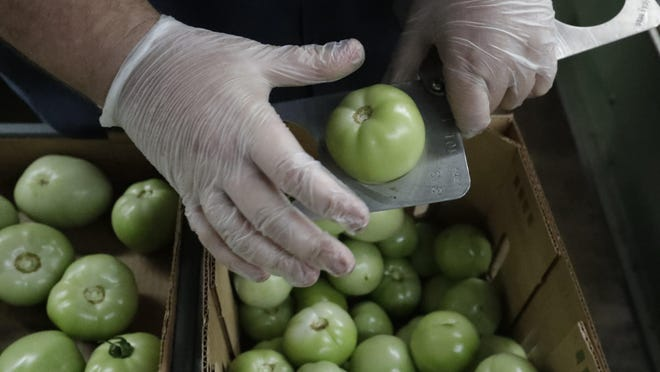 Florida Dept. of Agriculture and Consumer Services inspector Jason Crawford checks the size of tomatoes as he inspects boxes before they are shipped, in Florida City, Fla., on Feb. 5. A Florida bill mandating that private companies verify each new hire's eligibility to work in the U.S. is worrying farmers in the agriculture-rich state. The growers complain they are struggling to find farm workers as the unemployment rate reaches record lows.