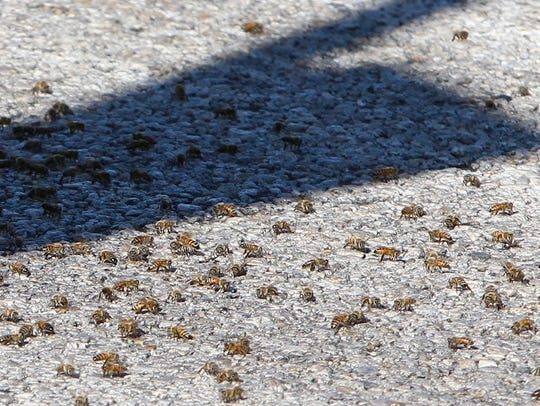 Thousands of bees flocked to the intersection of Del