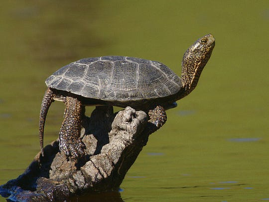 A Western Pond Turtle stretches in the sun (file photo).