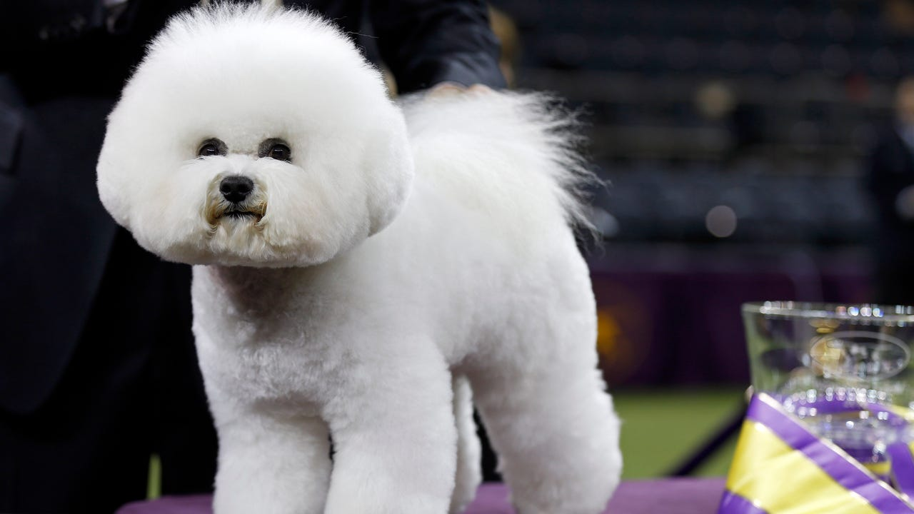 Bichon wins Westminster Dog Show