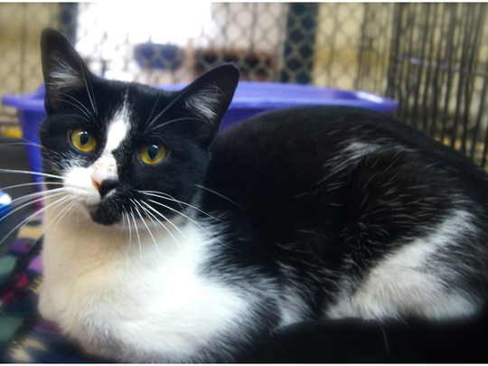 Joker is a 9 month old domestic short haired kitty