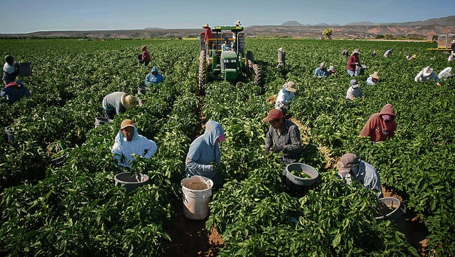 Workers harvest chile peppers Saturday on the 350-acre Adams Produce farm near Hatch, N.M.