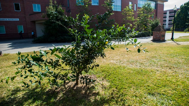 A recently planted fruit tree stands between Madison Hall and Oliver Hall Madison Hall on the campus of the Univeristy of Louisiana at Lafayette in Lafayette, La.. Paul Kieu, The Advertiser