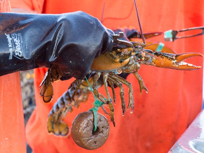 A gauge: Gauges measure the carapace of a lobster to