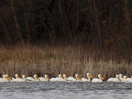 Pelicans hug the shoreline at Sweet Marsh near Tripoli.