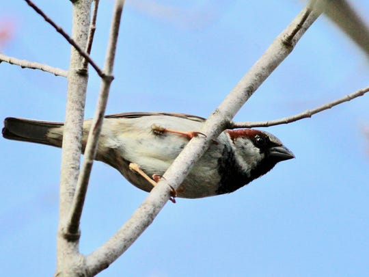 House sparrows abound in North Jersey and can commandeer other birds' nests.