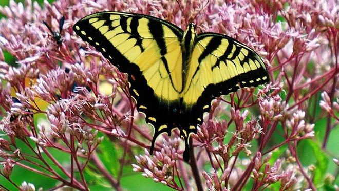 Swallowtail butterflies relish the joe-pye weed.