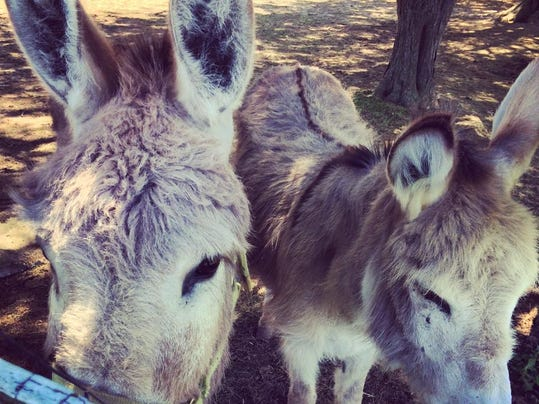 Bella and Georgio, two donkeys living at Seneca Lake-based Ventosa Vineyards, never turn down carrots or celery.  Provided photo.