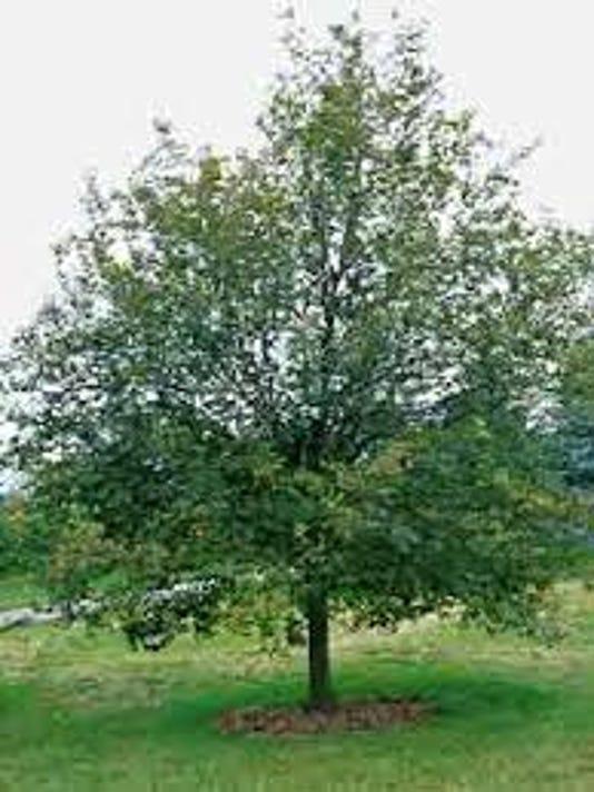 Bound Brook tree