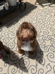 Benji the labradoodle remains missing after more than three weeks. Up to 600 people searched for him this past weekend at Ashand State Park.
