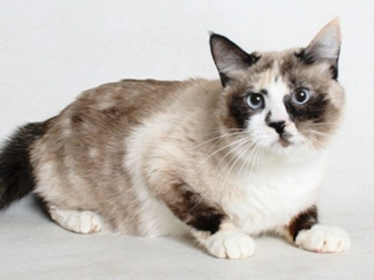 Smokey is a 2-year-old, white and black, female seal point Siamese mix. All feline and canine adoptions include spaying or neutering, vaccinations and a microchip. Visit Haven Humane Society, 7449 Eastside Road, Redding. Call 241-1653. Go to www.havenhumane.net.