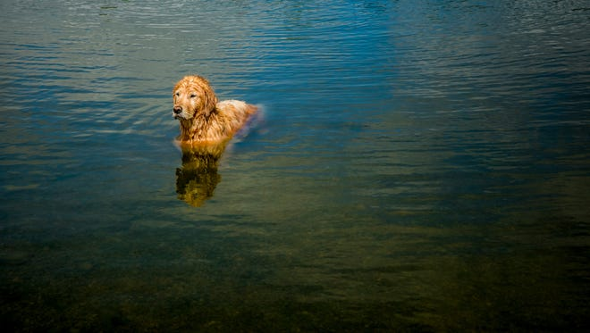 A golden retriever cools off in one of the lakes at WagsPark, a premier private dog park, in Newtown Wednesday, October 11, 2017.