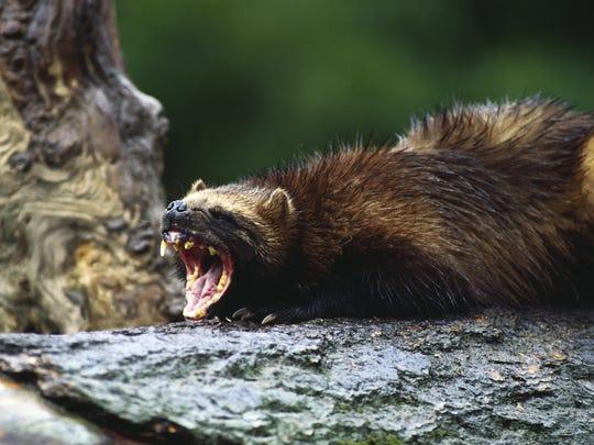 Fierce wolverine weasel growling.