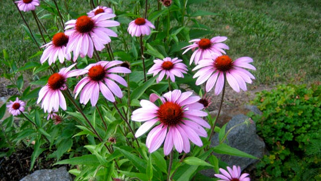 Uniformity of height, color and size are important when entering flowers for the South Mountain Fair. A good specimen of purple coneflowers are shown.