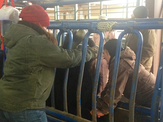 Riley Pitts, left, helps process steers for Stocker