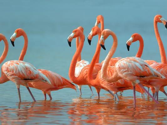American-Flamingos.jpg