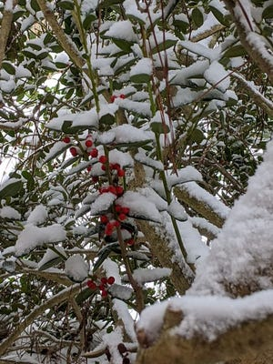American holly cloaked in snow
