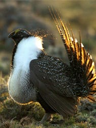 Sage grouse.