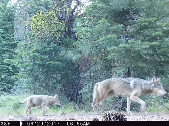 Members of a wolf pack in Lassen County were photographed using a trail camera.