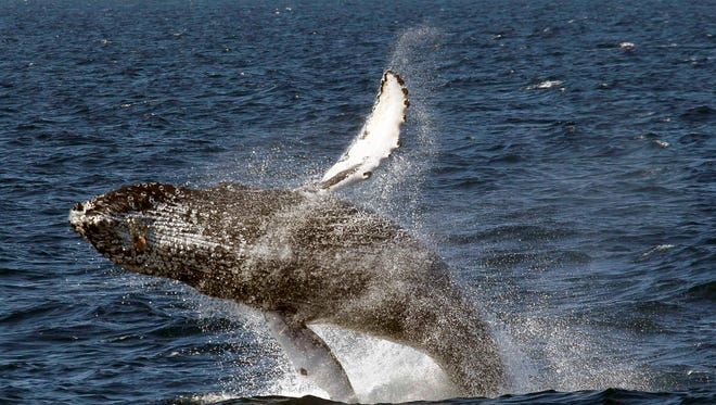 FILE - In this July 11, 2015 file photo, a humpback whale breaches off the Long Beach Coast during a whale watching trip on The Harbor Breeze Cruises Triumphant in Long Beach, Calif. Humpback whales have been swimming into San Francisco Bay in unprecedented numbers during the past two weeks, an onslaught that experts say could be caused by an unusual concentration of anchovies near shore. (AP Photo/Nick Ut, File)