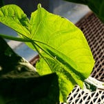 Artificial leaves prove photosyntheis can be done via a fuel generation system.