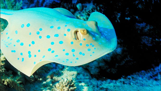 A generic photo of a stingray.