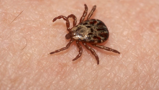 Wood ticks, like the one pictured, don't carry the same pathogens that cause Lyme disease as smaller deer ticks.