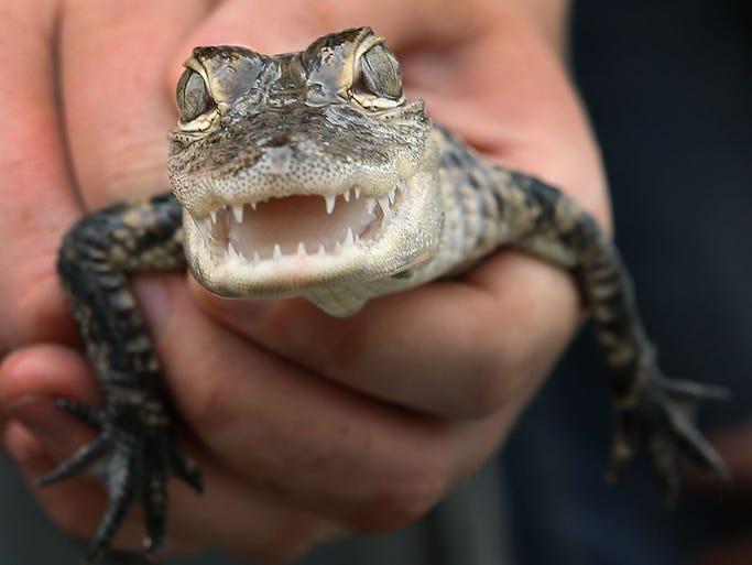 A foot-long alligator with sharp teeth was among the more than 600 animals that Muncie, Ind., officials found in a raid of a storefront where a man was living. Indiana residents don't need a permit for gators of less than 5 feet but Muncie doesn't allow them.