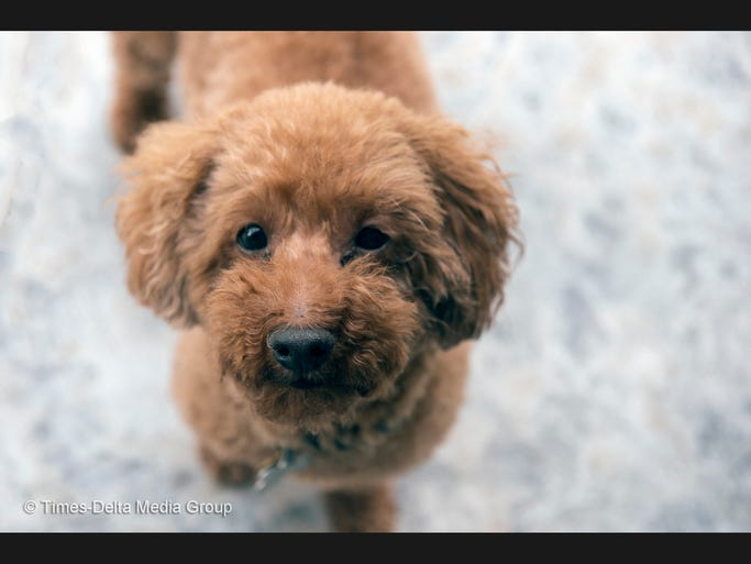 Rusty is an 8-year-old Miniature Poodle submitted by Sharon Fisher.