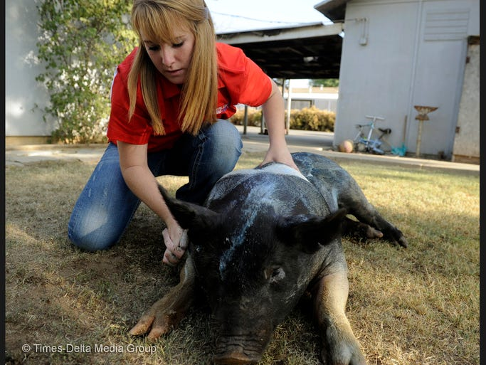 Hannah Seymore, 15, of Visalia, washes Beast, a male Hampshire pig, in her backyard. She shows pigs from February through October each year throughout California and hopes to place first at the state fair next year.