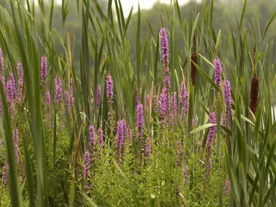 Purple loosestrife is a flowering plant that was beginning