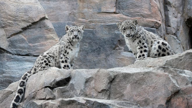 This Oct. 30, 2013,  photo provided by the Wildlife Conservation Society shows two baby snow leopards at the Central Park Zoo in New York. The male and female cubs, as yet unnamed, were born there this summer to mother Zoe and father Askai.