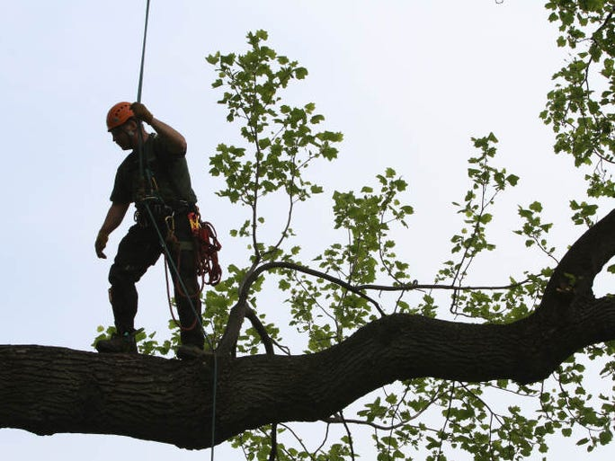 Corey Link of New Rochelle, an arborist for three years at the New York Botanical Garden in the Bronx, works on a very large tulip poplar tree on the property, May 3, 2011.