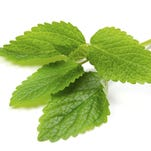 The leaves of lemon balm are edible and can be used in salads, baked goods or in bath water as aromatherapy.