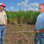 A sugarcane plant has started growing roots on the nodes that were submerged for several days in a field near Arnaudville.