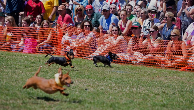 Dachshunds sprint towards the finish line during the Dachshund Derby at German Fest in 2016.