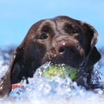 Stella fetches her tennis ball from a pool. On hot days, dogs should exercise in the shade or near water.