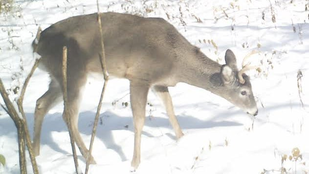 A deer grazes where an old sand mine was located in what is now the Western Wildlife Corridor.