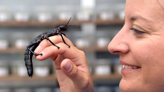 'Land Lobster,' thought extinct, re-emerges