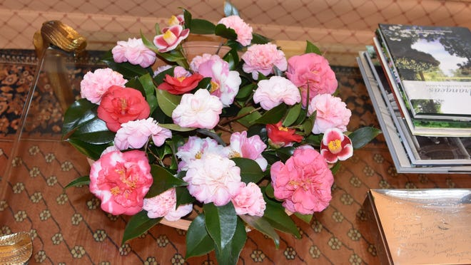 These camellia blossoms were picked in early January and brighten any garden.