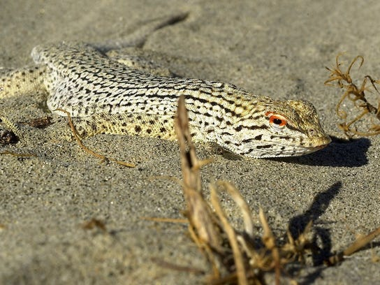 A fringe-toed lizard keeps a low profile in the sand