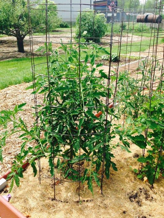07 06 2015 Tomato in cage