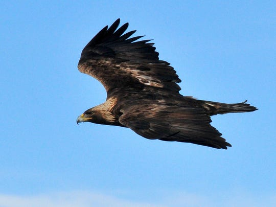 A golden eagle is shown in this undated handout photo provided by the U.S. Fish and Wildlife Service, which said last month that a California wind farm will become the first in the U.S. to avoid prosecution if eagles are injured or die when they run into the giant turning blades.