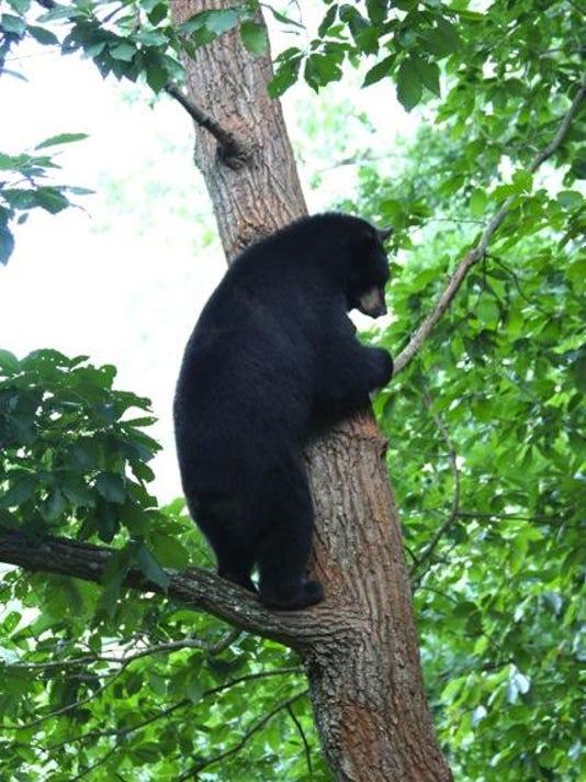 Black bear LEAD