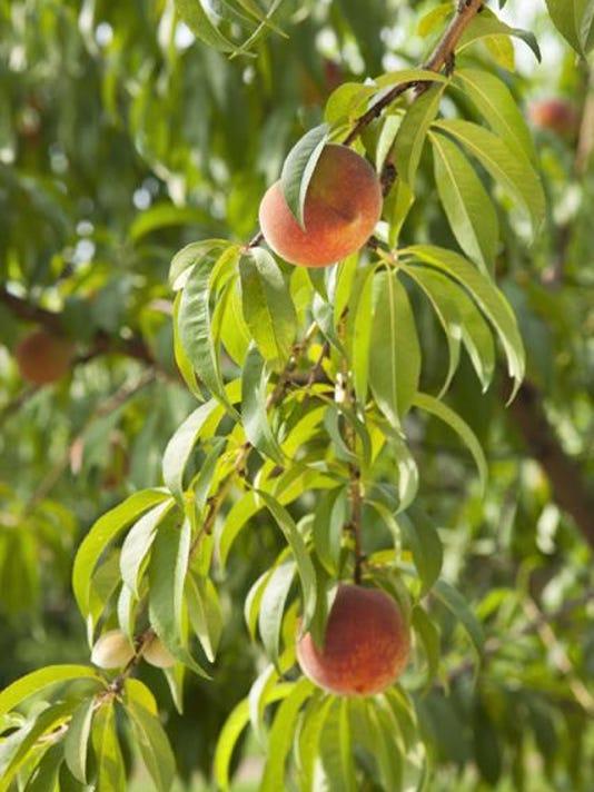 peaches_usda_2016