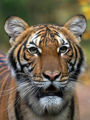 This undated photo provided by the Wildlife Conservation Society shows Nadia, a Malayan tiger at the Bronx Zoo in New York. Nadia has tested positive for the new coronavirus, in what is believed to be the first known infection in an animal in the U.S. or a tiger anywhere, federal officials and the zoo said Sunday.