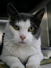 Muffin is a friendly and mellow 7-year-old girl. She has lived with other cats and dogs before, and would be great in most homes. Northern Ocean County Animal Facility, Jackson: 732-657-8086